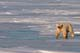 POLAR BEAR ON ICE OF HUDSON BAY, WAPUSK NATIONAL PARK