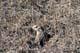 THIRTEEN-LINED GROUND SQUIRREL, SASKATOON