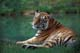 SIBERIAN TIGER, CALGARY