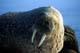 ATLANTIC WALRUS AT REST, FOXE BASIN, IGLOOLIK