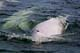 WHITE OR BELUGA WHALES IN CHURCHILL RIVER, CHURCHILL