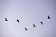 SANDHILL CRANES IN FLIGHT, SOUTHEASTERN ALBERTA