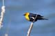 YELLOW-HEADED BLACKBIRD, SOUTHEASTERN ALBERTA