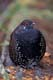 MALE SPRUCE GROUSE, JASPER NATIONAL PARK