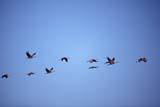 BIR CRA SAN  AB  TAP0000242DSANDHILL CRANES IN FLIGHTSOUTHEASTERN ALBERTA        04© TERRY A. PARKER                ALL RIGHTS RESERVED  TP 10432AB_;ALBERTA;BIRDS;CRANES;FLIGHT;PLAINS;PRAIRIES;SANDHILL_CRANE;SPRINGLONE PINE PHOTO                 (306) 683-0889