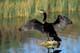 DOUBLE-CRESTED CORMORANT STANDING ON ROCK, LAST MOUNTAIN LAKE