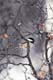 BLACK-CAPPED CHICKADEE ON BRANCH IN WINTER, LANGHAM