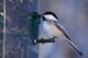 BLACK-CAPPED CHICKADEE AT FEEDER, LANGHAM