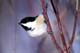 BLACK-CAPPED CHICKADEE ON BRANCH, PIKE LAKE PROVINCIAL PARK