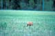 SANDHILL CRANE WITH YOUNG IN PASTURE, RED DEER
