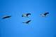 SANDHILL CRANES IN FLIGHT, QUILL LAKES