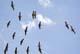 SANDHILL CRANES IN FLIGHT, SASKATOON