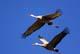 SANDHILL CRANES IN FLIGHT, OUTLOOK