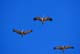 SANDHILL CRANES IN FLIGHT, OUTLOOK