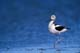 AMERICAN AVOCET, QUILL LAKES