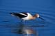 AMERICAN AVOCET IN WATER, QUILL LAKES