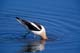 AMERICAN AVOCET FEEDING IN WATER, QUILL LAKES