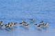 FLOCK OF AMERICAN AVOCET IN WATER, CHAPLIN