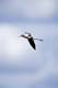 AMERICAN AVOCET IN FLIGHT, CHAPLIN