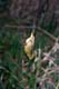 ORANGE-CROWNED WARBLER CAUGHT IN BANDING NET, LAST MOUNTAIN LAKE