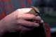 CEDAR WAXWING IN HANDS AFTER BEING BANDED, LAST MOUNTAIN LAKE