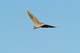 AMERICAN BITTERN IN FLIGHT, LAST MOUNTAIN LAKE