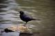 BREWER'S BLACKBIRD, SASKATOON
