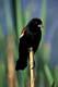 MALE RED-WINGED BLACKBIRD IN CATTAILS, SASKATOON