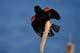 MALE RED-WINGED BLACKBIRD ON CATTAIL, SASKATOON
