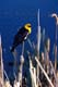 YELLOW-HEADED BLACKBIRD ON CATTAIL, SASKATOON