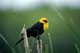 YELLOW-HEADED BLACKBIRD, SASKATOON