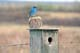 MOUNTAIN BLUEBIRD NEAR BIRD HOUSE, MOON LAKE