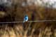 MOUNTAIN BLUEBIRD ON BARBED WIRE, MOON LAKE
