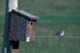 MOUNTAIN BLUEBIRD NEAR NESTING BOX, MOON LAKE