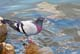 ROCK DOVE ON SHORE OF SOUTH SASKATCHEWAN RIVER, SASKATOON
