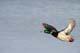 MALLARD DRAKE FLYING, TRURO