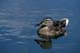 FEMALE MALLARD DUCK FEEDING ON LAKE, HEART LAKES, PRINCE ALBERT NATIONAL PARK