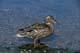 MALLARD DUCK FEEDING AT EDGE OF LAKE, HEART LAKES, PRINCE ALBERT NATIONAL PARK