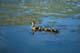 MALLARD DUCK FAMILY SWIMMING, SASKATOON