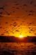 MALLARD DUCKS IN FLIGHT AT SUNSET, QUILL LAKES
