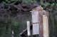 FEMALE MALLARD DUCK ON NESTING BOX, REGINA
