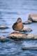 FEMALE MALLARD DUCK ON ROCK IN WATER, REGINA