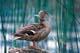 FEMALE MALLARD DUCK ON LOG, BARRIER LAKE