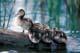MALLARD DUCK BABIES ON LOG, BARRIER LAKE