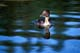 BUFFLEHEAD DUCK ON WATER, PRINCE ALBERT NATIONAL PARK