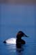 MALE CANVASBACK DUCK IN WATER, QUILL LAKE