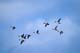 PINTAIL DUCKS IN FLIGHT, QUILL LAKE
