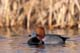 MALE REDHEAD DUCK IN WATER, QUILL LAKE