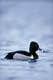MALE RING-NECKED DUCK ON POND, QUILL LAKE