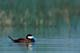 MALE RUDDY DUCK ON WATER, QUILL LAKES